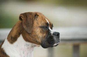 В Новороссийске собака зашла в троллейбус и облаяла пассажиров